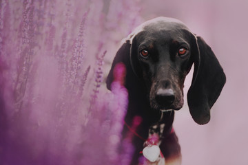 Hound dog sits in the flowers of lupins Wall mural