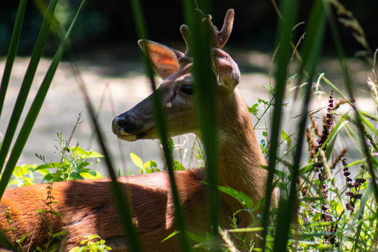 White-Tailed Deer In Grass