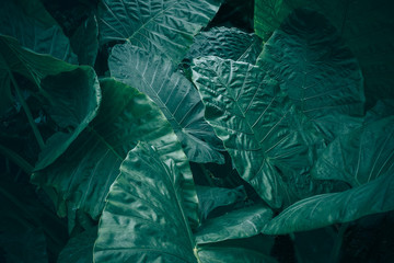 Wall Mural - Large foliage of tropical leaf with dark green texture, abstract nature background.