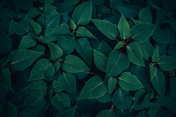 Wall Mural - Foliage of tropical leaf in dark green texture, abstract pattern nature background.