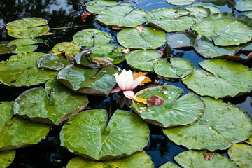 A frog sits on a green leaf among lilies in a pond