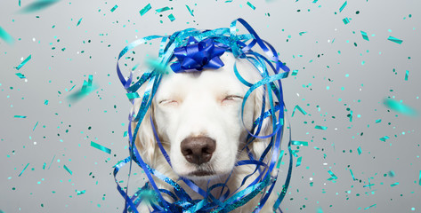 Dog banner party. Puppy celebrating birthday, anniversary, carnival or new year with a blue ribbon on head and serpentine and closed eyes. Isolated on gray background.