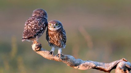 Fototapete - Two Young little owls (Athene noctua) stands on a dry branch on a beautiful summer background and looks at the camera