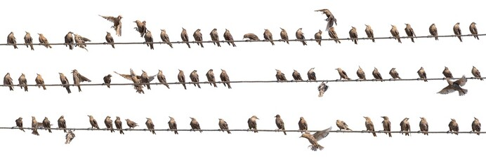 Photo sur Aluminium Oiseau Flock of Common Starling, Sturnus vulgaris,on electricity wires. A lot of birds on white background