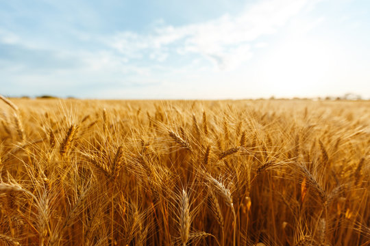 backdrop of ripening ears of yellow wheat field on the sunset cloudy orange sky background. Copy space of the setting sun rays on horizon in rural meadow Close up nature photo Idea of a rich harvest.