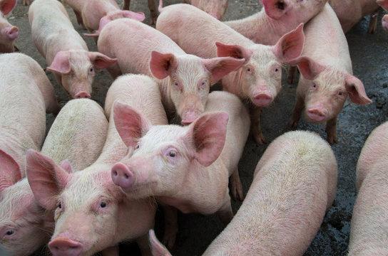Pigs diseases. African swine fever in Europe.