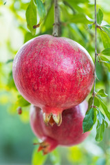 Ripe pomegranate fruits on a tree branch
