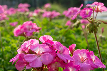 colorful pink flowers in garden