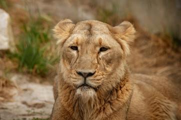 Samica lwa, patrzy prosto w kamerę, portret.