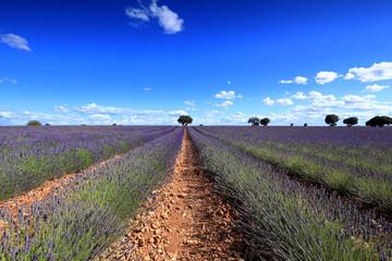 Spoed Foto op Canvas Khaki Flowered lavender fields in Brihuega, Guadalajara Spain
