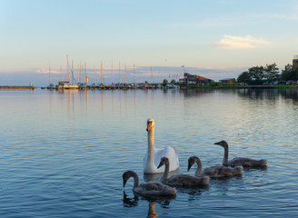 Swans swim in Saar island. Estonia