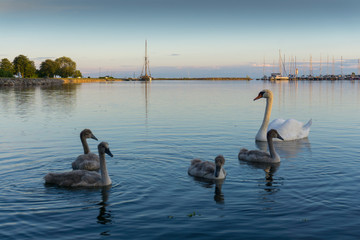 Beautiful lake with swans in Saare. Estonia