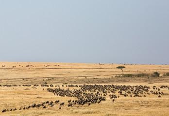 Wall Mural - The wildebeests grazing in the vast Masai Mara plain, Kenya