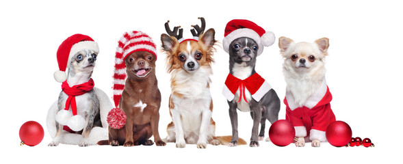 Group of chihuahua of different color wearing Christmas outfit