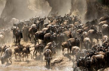 Wall Mural - The great migration of Mara, Wildebeests crossing Mara river, Masai Mara, kenya