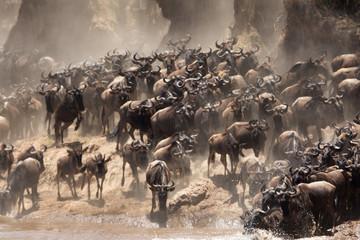 The great migration of Mara, Wildebeests crossing Mara river, Masai Mara, kenya Wall mural