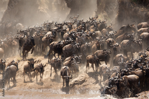 Wall mural The great migration of Mara, Wildebeests crossing Mara river, Masai Mara, kenya