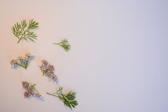 Isolated flowers of coriander on a light background