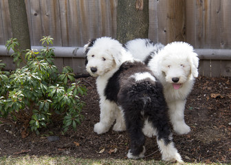 Old English sheepdog puppies playing in the backyard