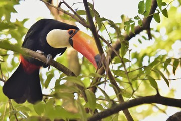 In de dag Toekan toucan on a branch