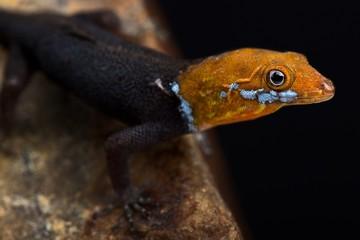Wall Mural - Yellow-headed Gecko (Gonatodes albogularis fuscus)