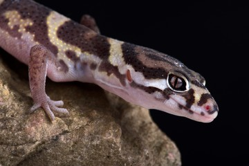Wall Mural - Central American Banded Gecko (Coleonyx mitratus)