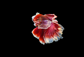 Foto op Plexiglas Vissen The moving moment beautiful of red siamese betta fish or dumbo splendens fighting fish in thailand on black background. Thailand called Pla-kad or big ear fish.