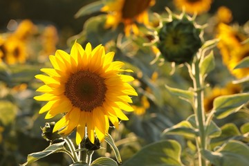 Wall Mural - Sunflower - Helianthus annuus in the field at dusk