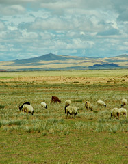 Mongolian pastures in the area Zavkhan Rive