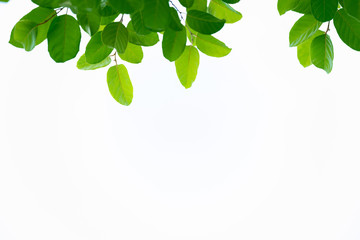 Closeup nature view of green leaf on white background in garden with copy space using as background...