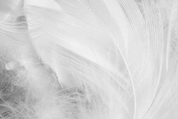 Wall Mural - Beautiful white feather pattern texture background