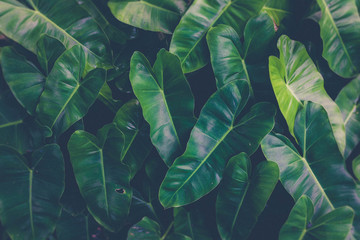 Green plants or green leaves in the tropics as the background Wall mural