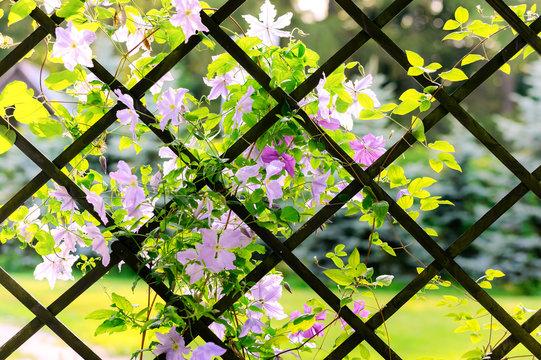 Beautiful flowering clematis in a garden gazebo or pavilion