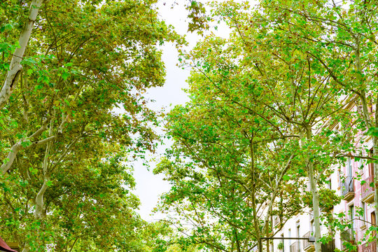 Barcelona, Spain. Trees in the Rambla  in summer