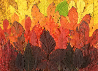 Horizontal scanography image of collage of colorful fall leaves (foliage)