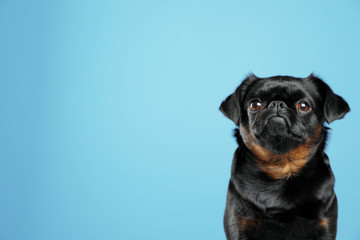 Adorable black Petit Brabancon dog on light blue background, space for text