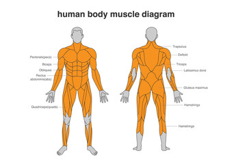 Human body Muscles Diagram in Full Length front and Back side. Illustration about bodybuilding and Anatomy.
