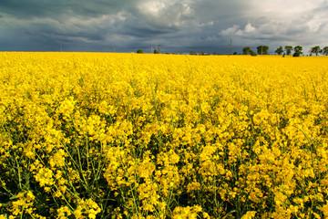 Piękny krajobraz pole rzepaku i niebo