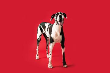Obraz Beautiful Great Dane Dog Isolated on Colored Background - fototapety do salonu