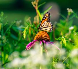Monarch butterfly in the morning garden