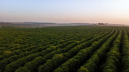 Aerial view of coffee plantation. Sunrise. Fotoväggar
