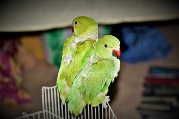 Search photos lovebird