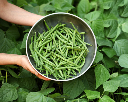 Organic green beans being harvested out of garden