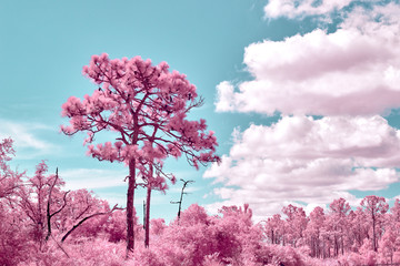 Infrared sand pines and florida scrub