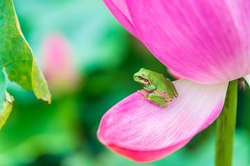 蓮の花とアマガエル