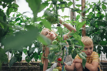 Siblings picking tomatoes in greenhouse