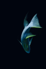 Marine Creature - Blue Fish