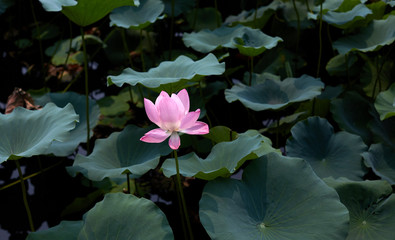 A lonely lotus flower in the lotus pond