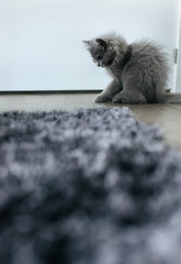 Kitten playing with a rag mouse