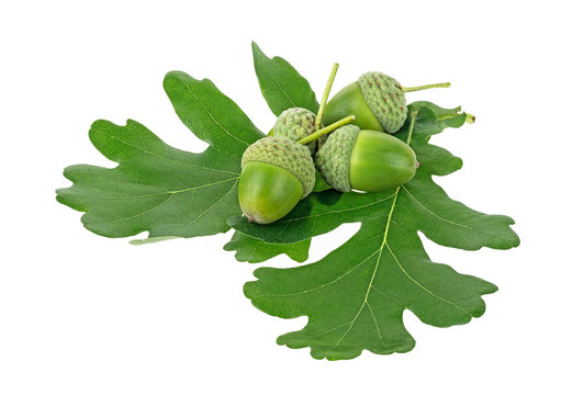 Green acorns and oak leaves isolated on a white background